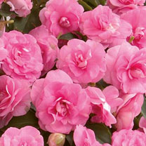 Impatiens Plants - Hot Pink