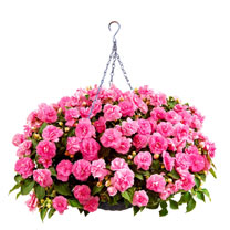 Impatiens Diadem Plants - Hot Pink