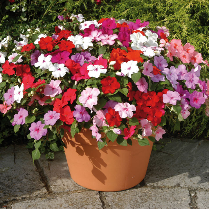Impatiens Flower Plants - F1 Dezire Mixed