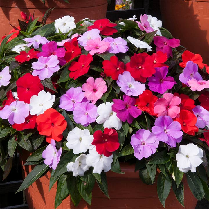 Impatiens Plug Plants - (New Guinea) Divine