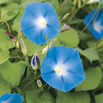 Ipomoea Seeds - Heavenly Blue
