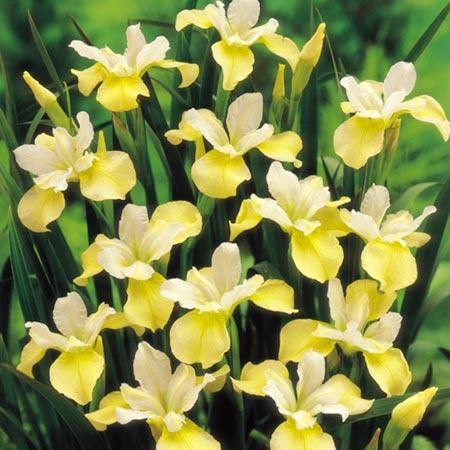 Iris Sibirica Bulbs - Butter and Sugar