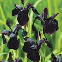 Iris chrysographes Plants- Black Form