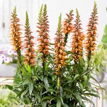 Isoplexis Plants - Bella