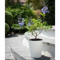 Jacaranda - Bonsai blue