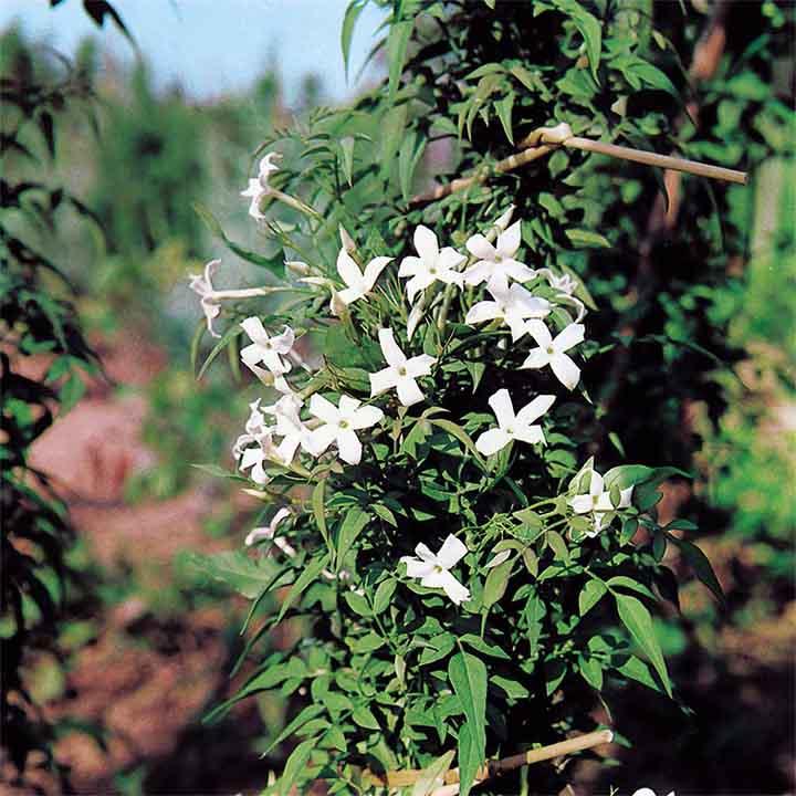 Jasminum officinale Plant