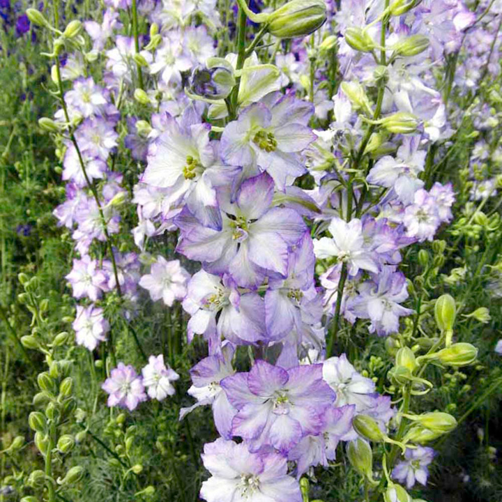 Larkspur Seeds - Fancy Purple Picotee