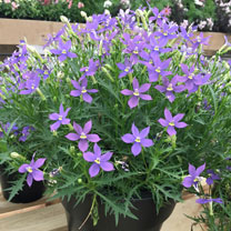 Laurentia Plant - Megastar Blue