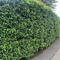Prunus lusitanica (Portugese Laurel) Plant - 2L Value Hedging Range
