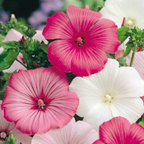 Lavatera Seeds - Beauty Mixed