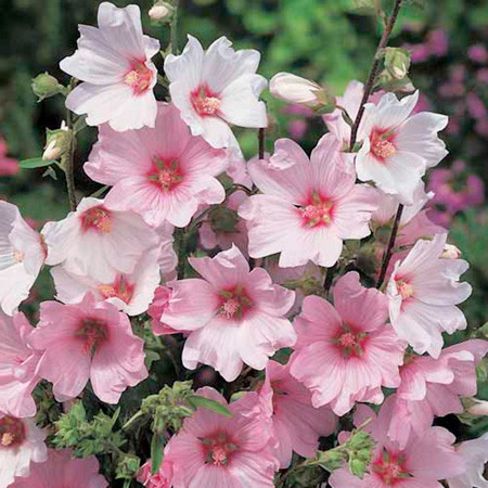 Lavatera Plant - Barnsley