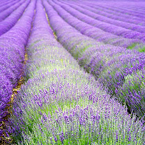 Lavender Plants - angustifolia Hidcote