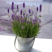 Lavender Plants - Forever Blue