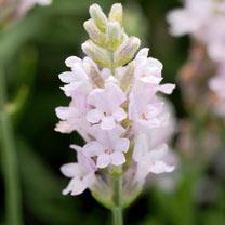 Lavender Seeds - Ellagance Pink