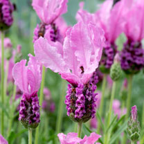 Lavender Plants - Fairy Wings Pink
