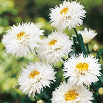 Leucanthemum Plants - Crazy Daisy