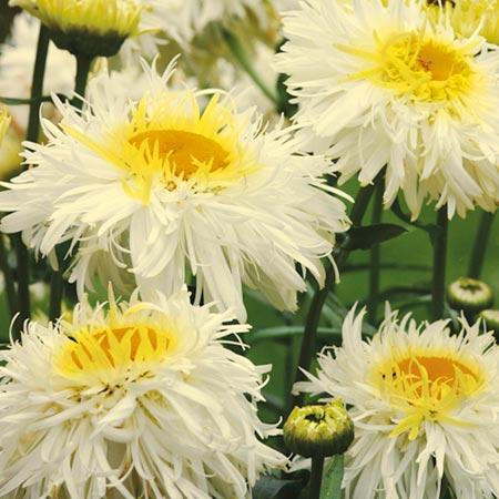 Leucanthemum Plant - Crazy Daisy