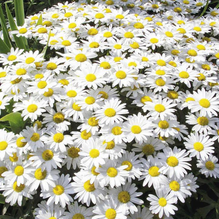 Leucanthemum Plant - Dwarf Snow Lady