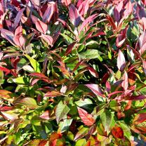 Leucothoe Plant - Scarletta