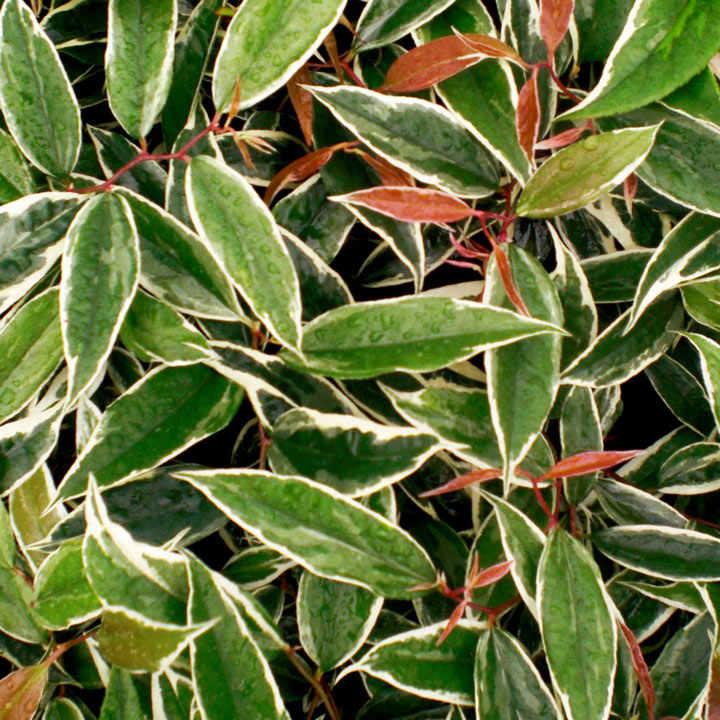 Leucothoe fontanesiana Plant - Whitewater