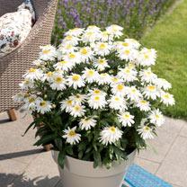 Leucanthemum Plants - Sweet Daisy Birdy