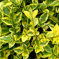Ligustrum Aureum (Golden Privet) Plant - 2L Value Hedging Range