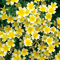 Yellow flowers flowers by colour flowers garden dobies limnanthes seeds douglasii mightylinksfo