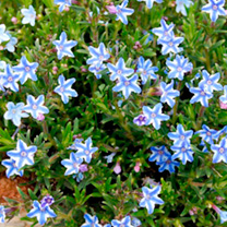 Lithodora Plant - Blue Star