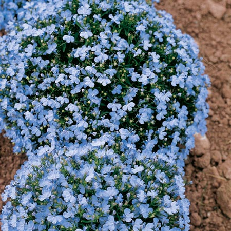 Lobelia Seeds Cambridge Blue Dobies