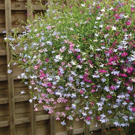 Lobelia Trailing Plants - Cascade Mix