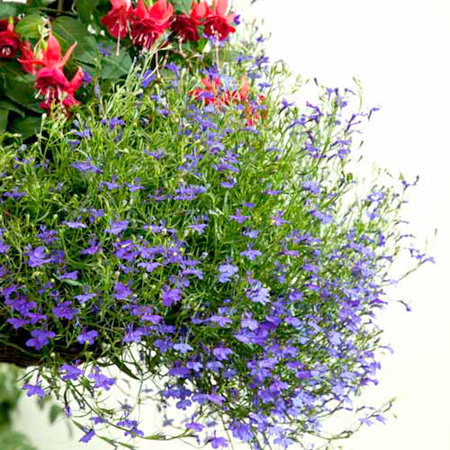 Lobelia Pellets - Monsoon