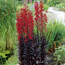 Turn up the heat in borders with Queen Victoria's scarlet red flowers, which are set off to perfection against deep bronze foliage. It makes a lovely