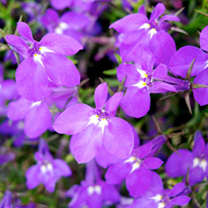 Lobelia Plants - Richardii