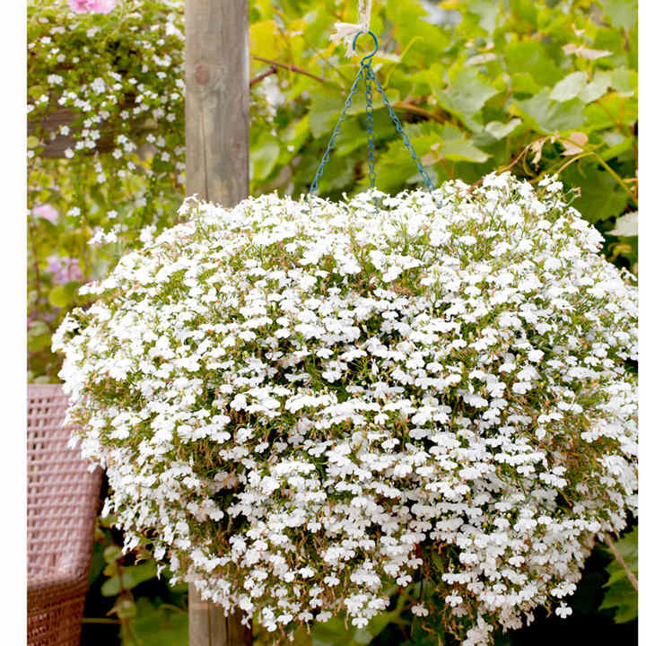 Lobelia Cascade White Pellets All Flower Seeds Flower Seeds