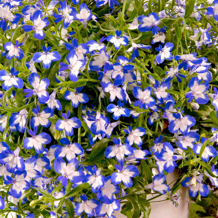 Lobelia Superstar 6 All Flower Plants Flower Plants Flowers