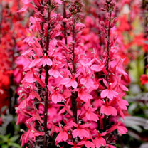 Lobelia Plant - Starship Deep Rose
