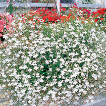 This lobelia is a stunning cascading variety ideal for baskets, window boxes and tubs. White. HHA Half-Hardy Annual. Pendula/trailing variety retains