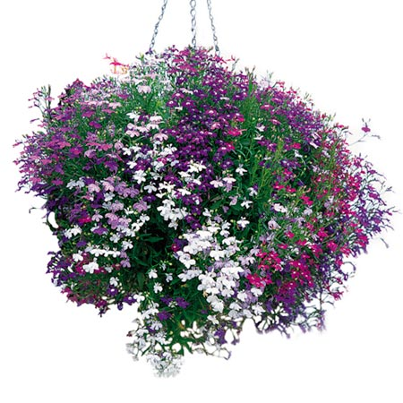 Lobelia Seeds - Cascade Mixed