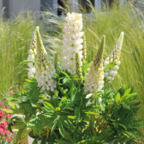 Lupin Plant - Mini Gallery White