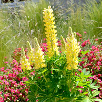 Lupin Plant - Mini Gallery Yellow