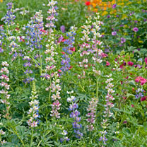Lupin Seeds - Garden Lupin Mixed