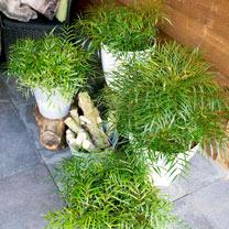 Mahonia eur. Plant - Soft Caress