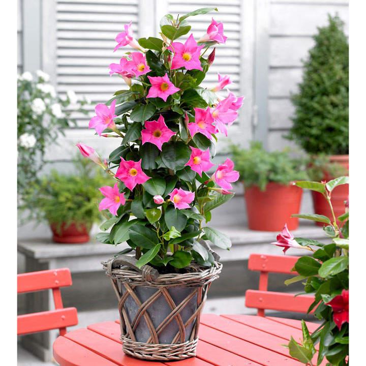 Mandevilla Bloom Bells Plant - Pink