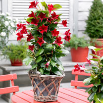 Image of Mandevilla Bloom Bells Plant - Red