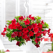 Mandevilla Bloom Bells Plant - Red