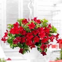 Mandevilla Bloom Bells Plant - Red