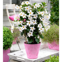 Image of Mandevilla Bloom Bells Plant - White