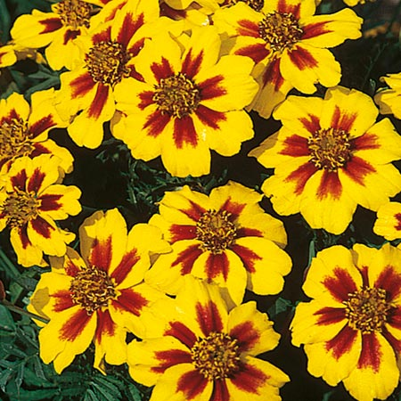 Yellow flowers flowers by colour flowers garden dobies marigold dwarf french seeds naughty marietta mightylinksfo