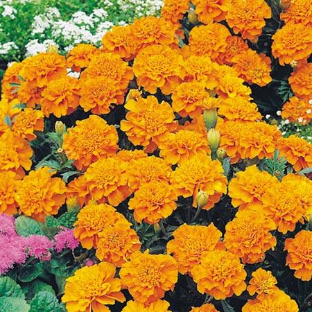 Marigold (French) Seeds - Orange Winner