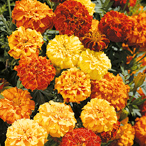 Marigold (Afro-French) Seeds - Zenith Mixed F1
